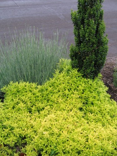 A sidewalk planting of golden oregano, sky pencil holly, and lavender provides lots of interest and color with the varying shades and textures of foliage and form.